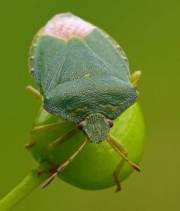 chinches verdes plaga fumigacion