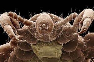 Imagenes de piojos y liendres reales microscopicos