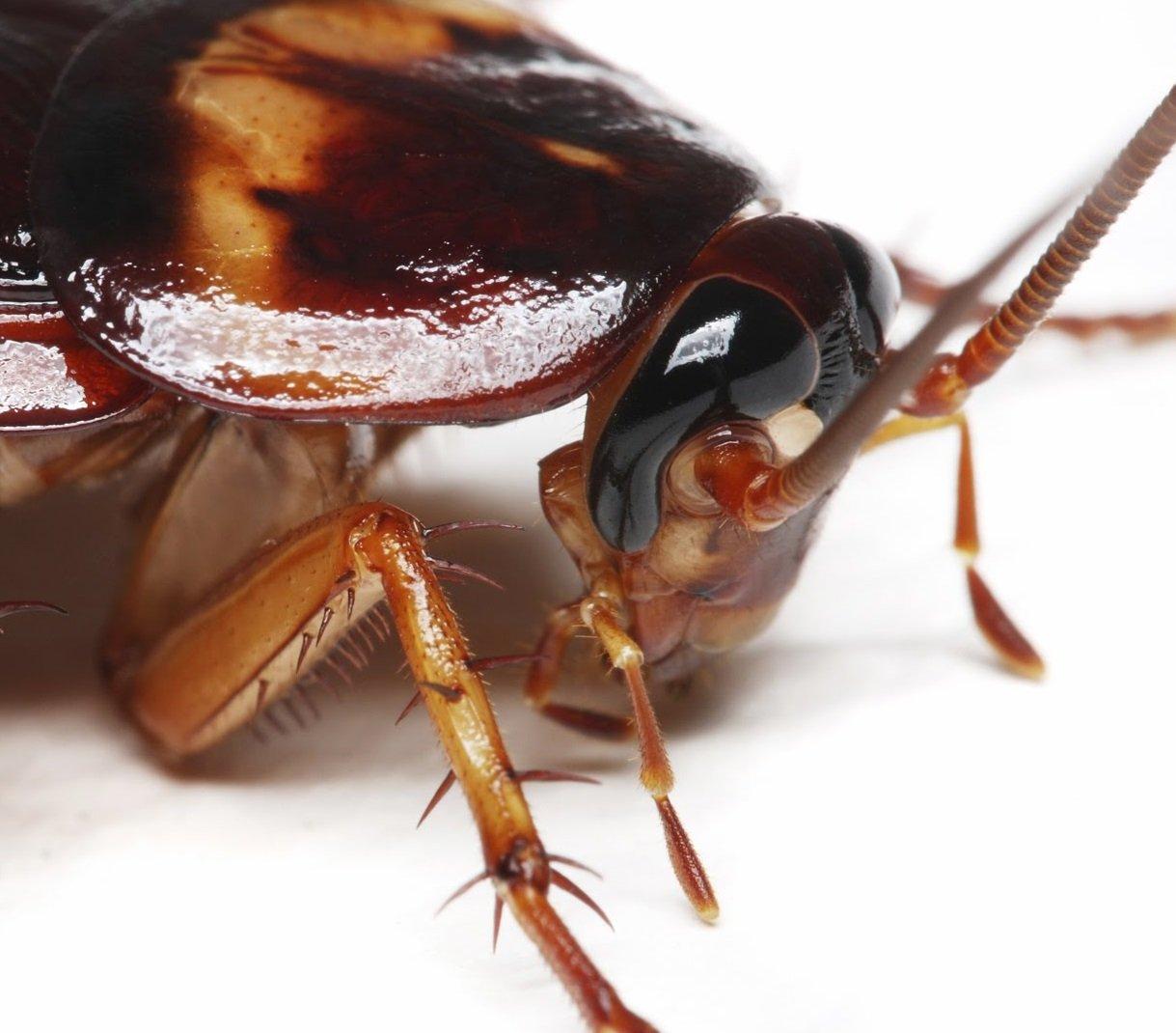 ¿Como matarlas o eliminar cucarachas naturalmente?