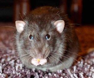 Alimentos-y-subproductos-animales-de-ratas-1