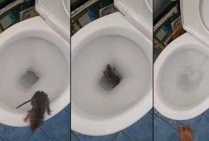 Cómo-terminan-las-ratas-de-alcantarilla-en-la-taza-del-inodoro-1