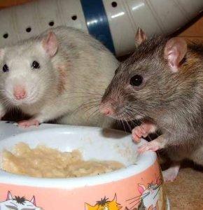 Cómo-tratar-a-las-ratas-1