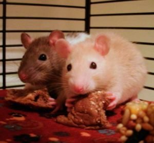 Carne-comida-de-ratas-alimento-1
