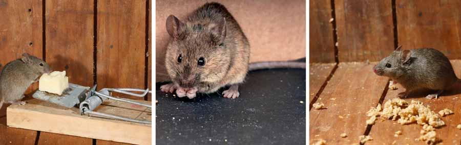 Como-Eliminar-Exterminar-Matar-las-Ratas--Remedios-Caseros-1