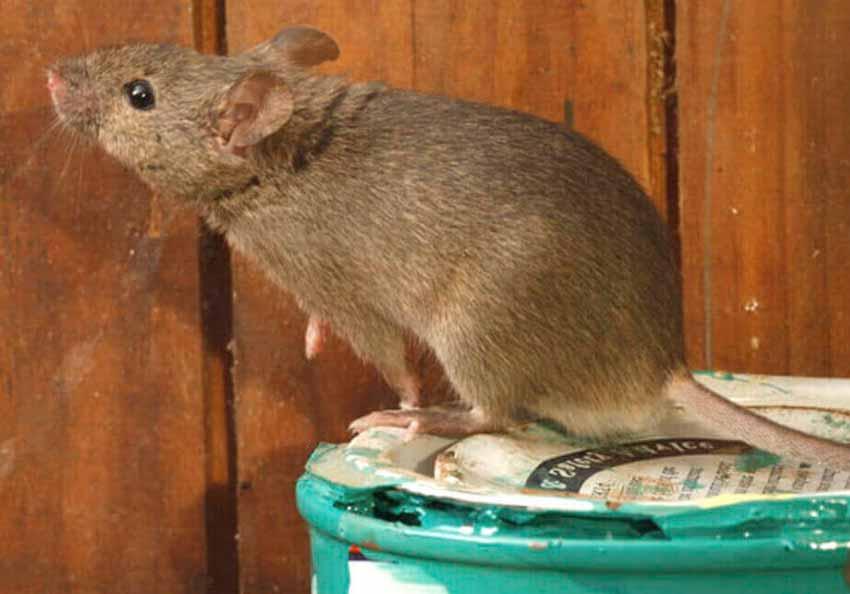 Como-Espantar-Ratas