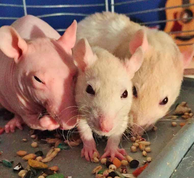 Comportamiento,-Dieta-y-Hábitat-de-ratas-1