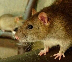 Crees-que-las-ratas-de-alcantarilla-que-se-acercan-a-los-baños-1