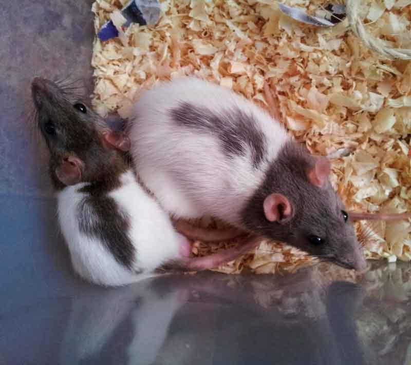 Criando-Ratas-y-Ratones-1