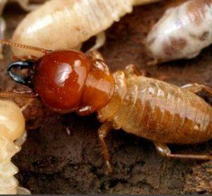Evolución-Paleontología-y-Clasificación-de-las-termitas-1