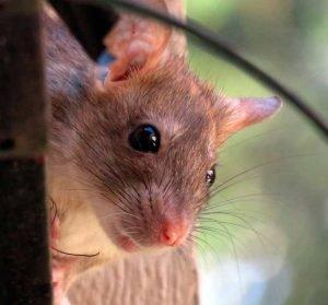 Fotos-de-Ratas
