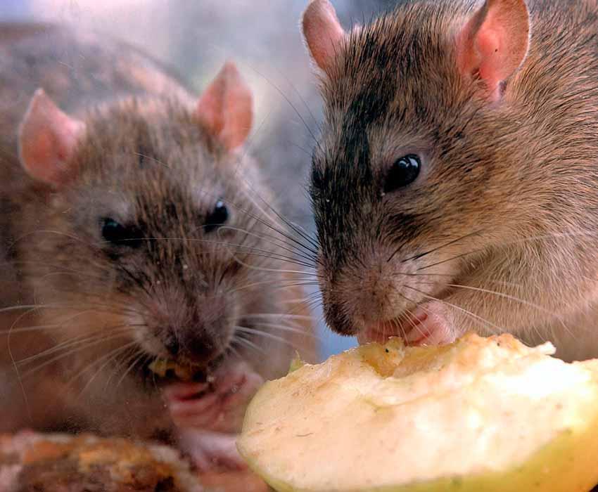 Frutas-y-bayasalimento-de-ratas-dieta-1