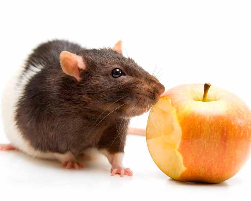 Granos-y-semillascomida-de-ratas