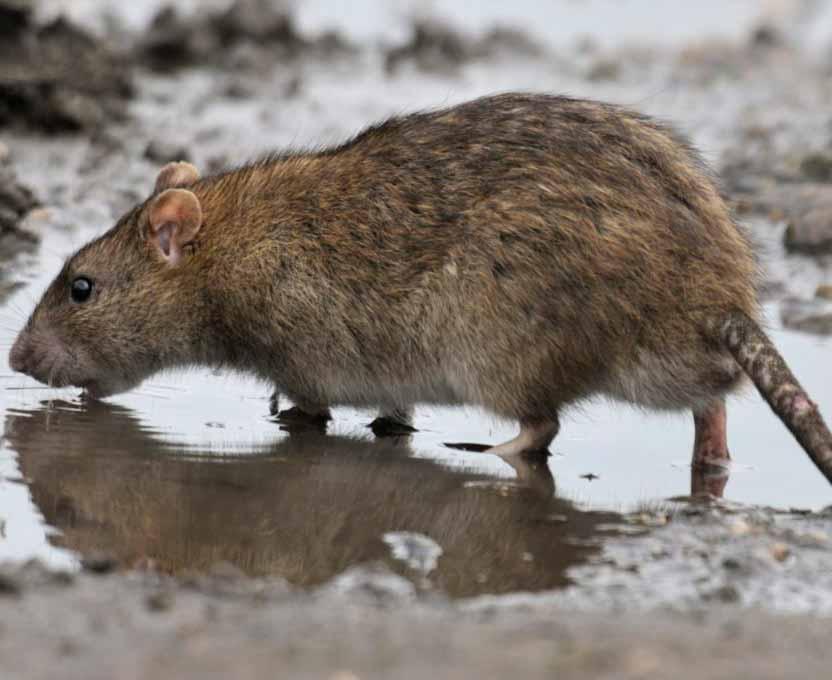 Hábitat-de-las-ratas