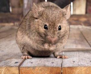 Hechos,-Identificación-y-Control-de-las-Ratas-Roedores-1