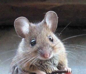 Menta-roedores