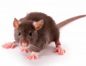 Nuestra-Experiencia-con-Trampas-para-Ratas-1