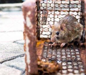 Plagas-y-enfermedades-causadas-por-Ratas-1Plagas-y-enfermedades-causadas-por-Ratas