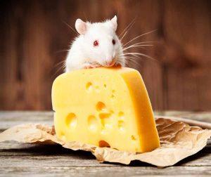 Que-Comen-las-Ratas-y-como-Atraerlas-Dieta-1