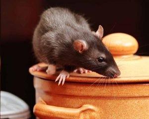 Ratas-Negras-Ratus-Ratus--tipos-1