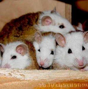 Reproducción-en-nido-de-Ratas-ratones-1