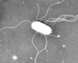 Salmonella-Enterica-Serovar-Typhimurium-1