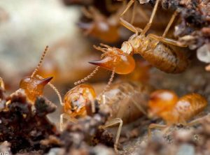 señales de infestacion de las termitas