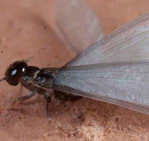 Todo-lo-que-usted-debe-saber-sobre-las-termitas-con-alas-o-voladoras--1