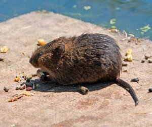 excrementos-de-Roedores,-orina-de-ratones-y-saliva-de-ratas-1