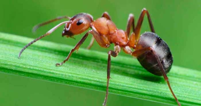 hormigas grandes evolucionada