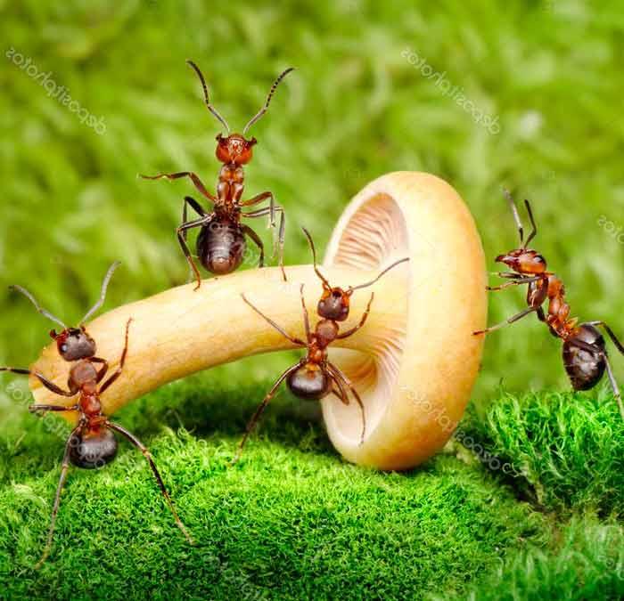 el hongo alimento de hormiga