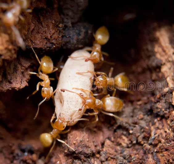 los huevos de hormiga
