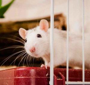 ratas-blancas-bonitas-hermosas-1
