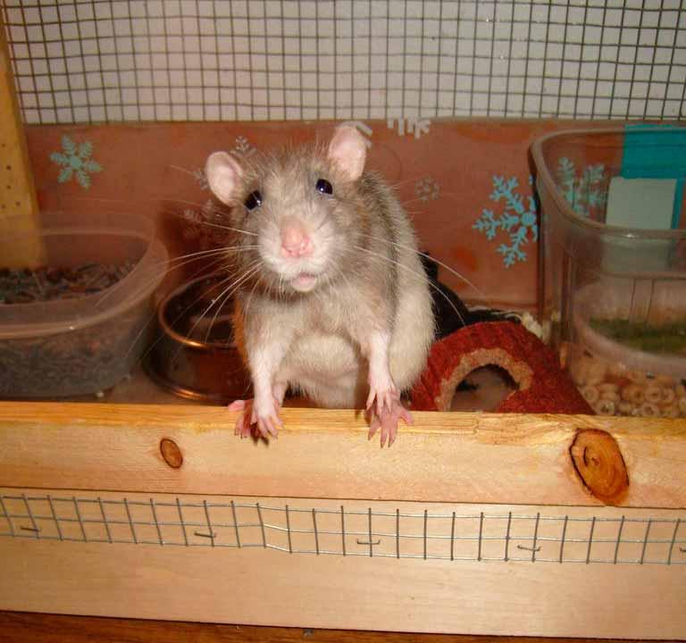 ratas-gigantes-de-alcantarilla-tipos