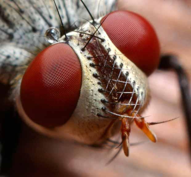 Cuantos-ojos-tiene-una-mosca