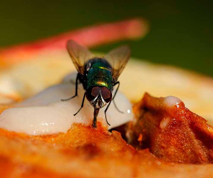 Que-comen-las-moscas