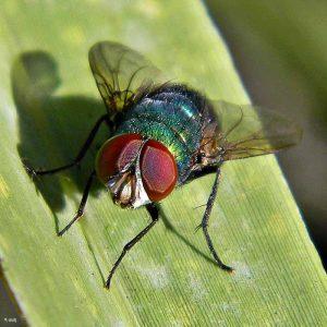 como-se-reproducen-las-moscas