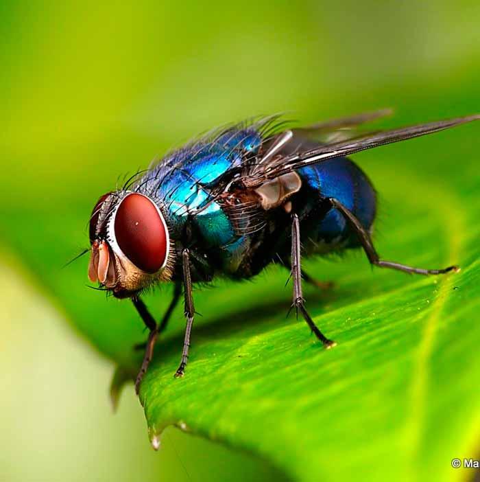 mosca-azul-o-verde-tipos