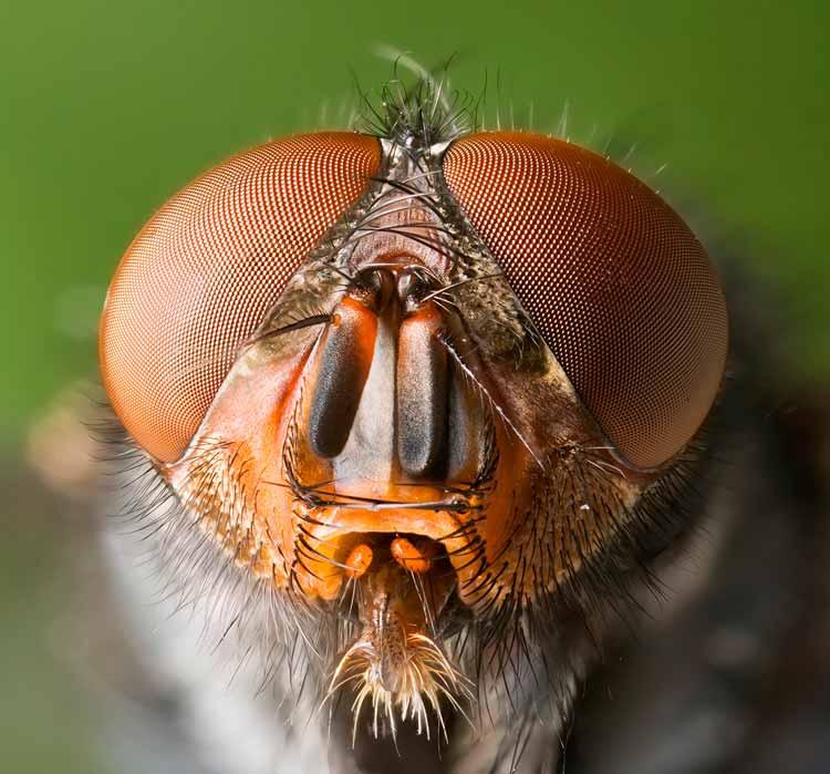 mosca-de-carne-tipos