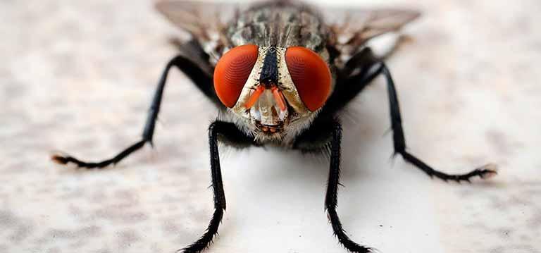 mosca--tipos-Caracteristicas,-Identificación-y-Control-eliminarlas