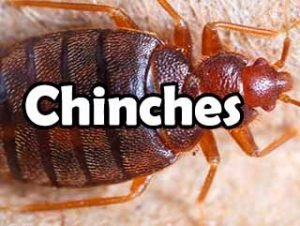 chinches-definicion-significado-historia-y-todo