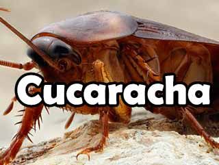 cucaracha-definicion-significado-historia-y-todo