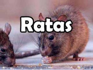 ratas-pericote-definicion-historia-todo