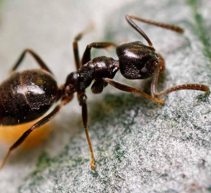 Cómo-puedo-deshacerme-de-las-hormigas-acróbatas-1