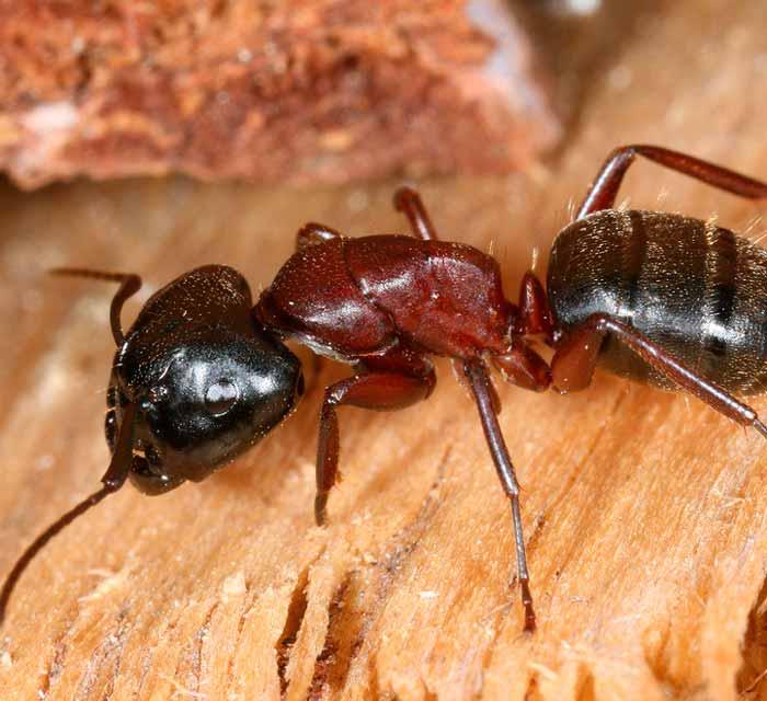 como se comportan las hormigas acrobatas