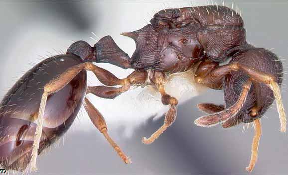 Qué-tan-dañinasson-las-hormigas-acróbatas-1