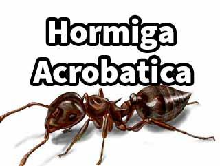 hormiga-acrobatica-tipos-1