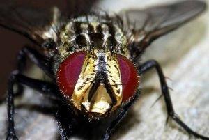 Cuanto tiempo vive una mosca
