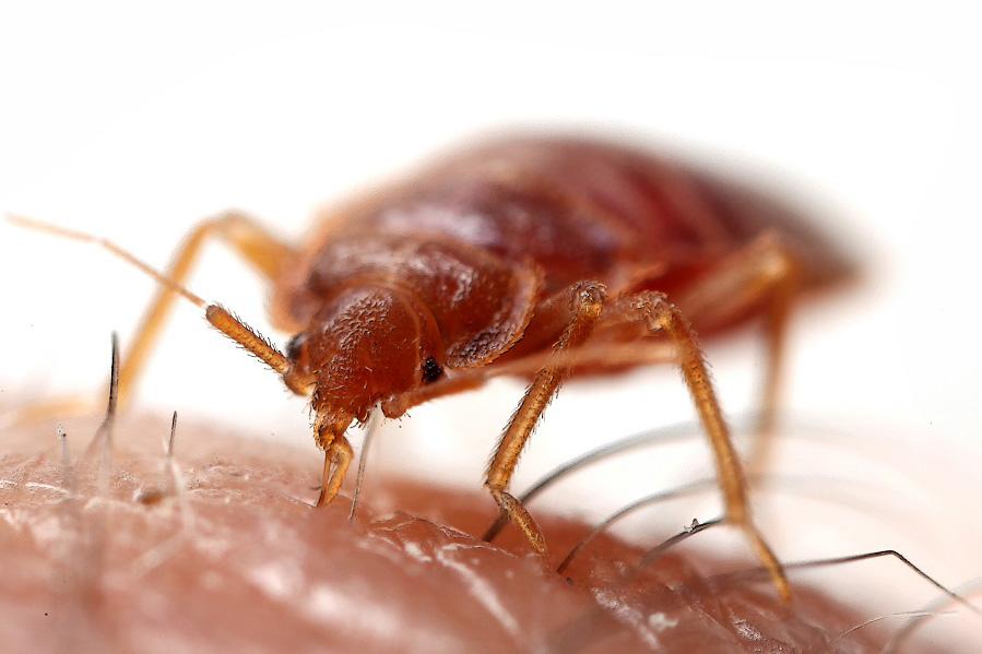 La plaga de chinches, un problema que ahora por fin tiene solución